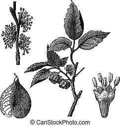 Elm or Ulmus campestris, vintage engraving - Elm or Ulmus...