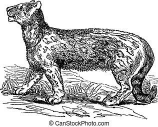 Snow leopard, Uncia uncia, Leopardus uncia or Panthera...