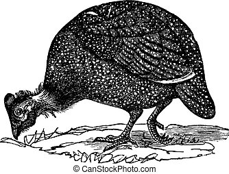 Common guinea fowl Numida meleagris, vintage engraving -...