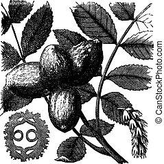 Walnut or Juglans sp, vintage engraved illustration - Walnut...