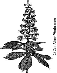 Horse-chestnut or Aesculus hippocastanum or Conker tree or...