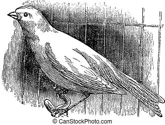 Ordinary canary, vintage engraving. - Ordinary canary,...