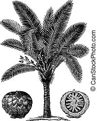 Sago Palm or Metroxylon sagu vintage engraving - Sago Palm...