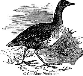 Corn Crake or Crex crex vintage engraving - Corn Crake or...