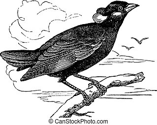 Common Hill Myna or Gracula religiosa vintage engraving -...