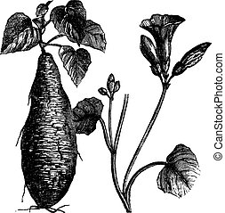 Sweet Potato or Ipomoea batatas, vintage engraving - Sweet...