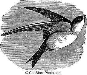 Common House Martin or Delichon urbicum vintage engraving -...