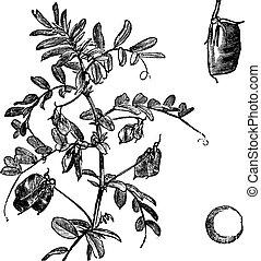 Cultivated lentil Lens Ervum, vintage engraving - Cultivated...