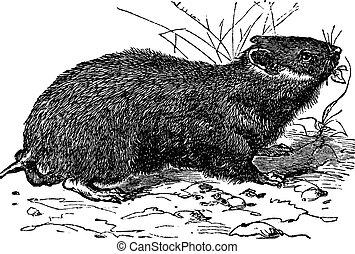 Hamster (cricetus vulgaris) vintage engraving