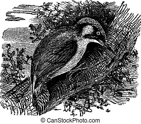 Woodpecker or piculets or wrynecks, vintage engraving -...