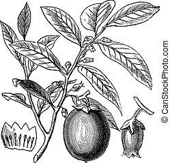 American Persimmon or Diospyros virginiana, vintage...