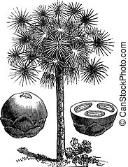 Sugar palm or Borassus flabellifer, vintage engraving -...
