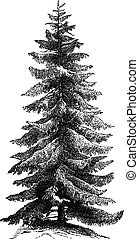 Norway Spruce or Picea abies vintage engraving