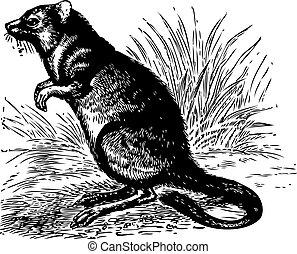 Long-nosed Potoroo or Potorous tridactylus vintage engraving...