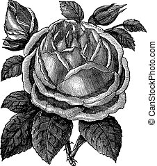 Rose Hazelnut or Rosa noisettiana vintage engraving