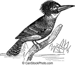 Belted Kingfisher or Megaceryle alcyon vintage engraving -...