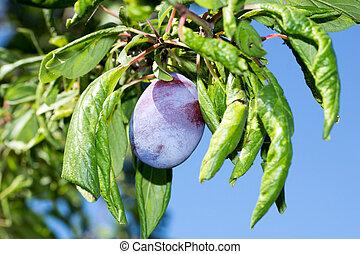Plum on a plum tree