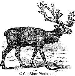 Reindeer or Rangifer tarandus vintage engraving - Reindeer...