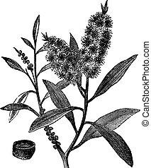 Tea Tree Oil has white wood (Melaleuca Leucadendron), vintage engraving