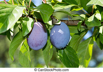 Plum on a plum tree