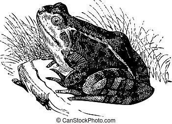Water frog old illustration