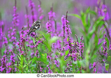 Common stonechat standing on a purple flower - Photo of...