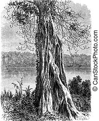 Ovoounchoua, fig tree protruding ribs, vintage engraving. -...