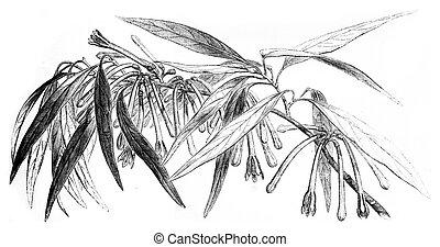 Loranthus Macrosolen, vintage engraving. - Loranthus...