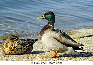 ducks - a pair of free ducks, one male and one female