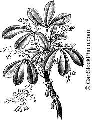 Siphonia elastic, vintage engraving - Siphonia elastic,...