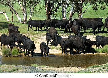 At the Waterhole - Aberdeen Angus cattle near a stream on a...