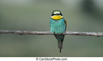 the bee-eater bird sitting on a branch with lovely position