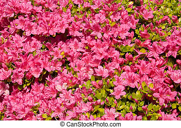 Karume Azalea - A Karume Azalea in full Spring flower