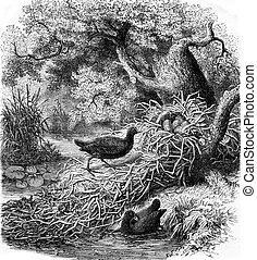 The Moorhen and its nest, vintage engraving - The Moorhen...