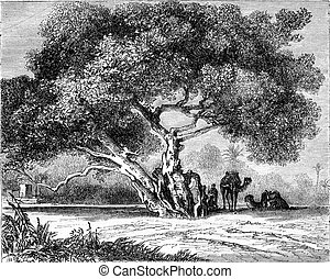 The Tree of Egypt Virgin, vintage engraving.