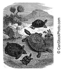 Turtles of the Natural History Museum, vintage engraving.