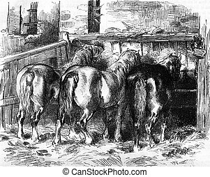 Percheron horses in the stable, vintage engraving -...