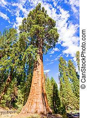 Gigantic Sequoia trees in Sequoia National Park, California...