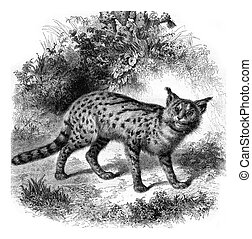 Zoo Marseille, The serval cat, vintage engraving - Zoo...