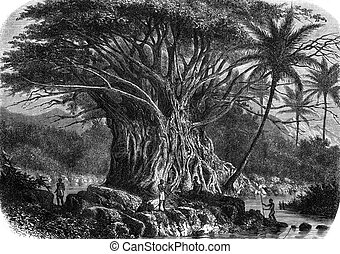 Colossal fig tree in the Anna-Maria Bay in Nuka Hiva,...