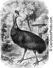 Natural History Museum, The Cassowary helmet, vintage engraving.