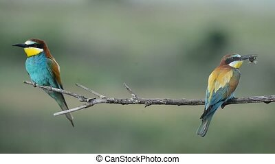 European bee-eater Merops apiaster - a beautiful European...