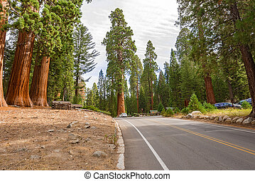Gigantic Sequoia trees in Sequoia National Park, California...