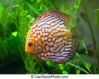 red discus fish swimming in a large aquarium