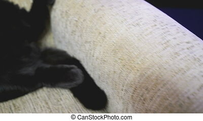 British black cat posing legs up on the couch HD