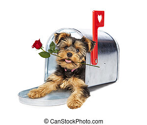 Puppy In Mailbox Holding Red Rose - Cute little Yorkshire...