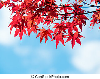 Autumn maple leaves against blue sky