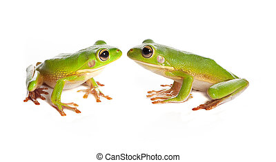 Two tree frogs - Sitting white-lipped tree frogs or Litoria...
