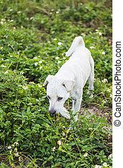 thai white dog in grass