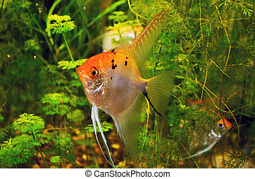 Angelfish in green thicket